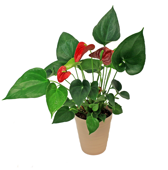 anthurium ronan pot foliage red tropical
