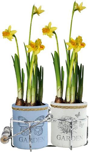 Daffodil assorted blooming daff cylinder bulb