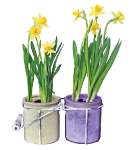 yellow daffodil duo bulbs
