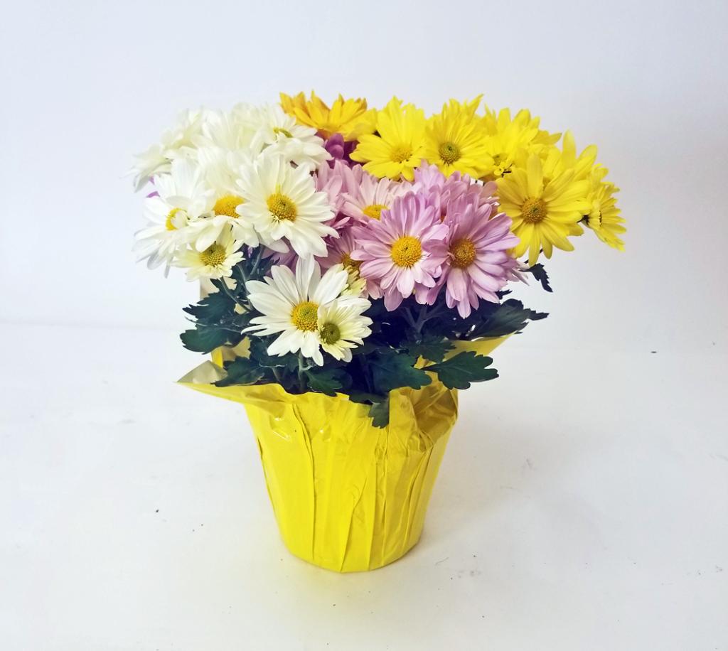 chrysanthemum mum pelee point tricolor combo pack