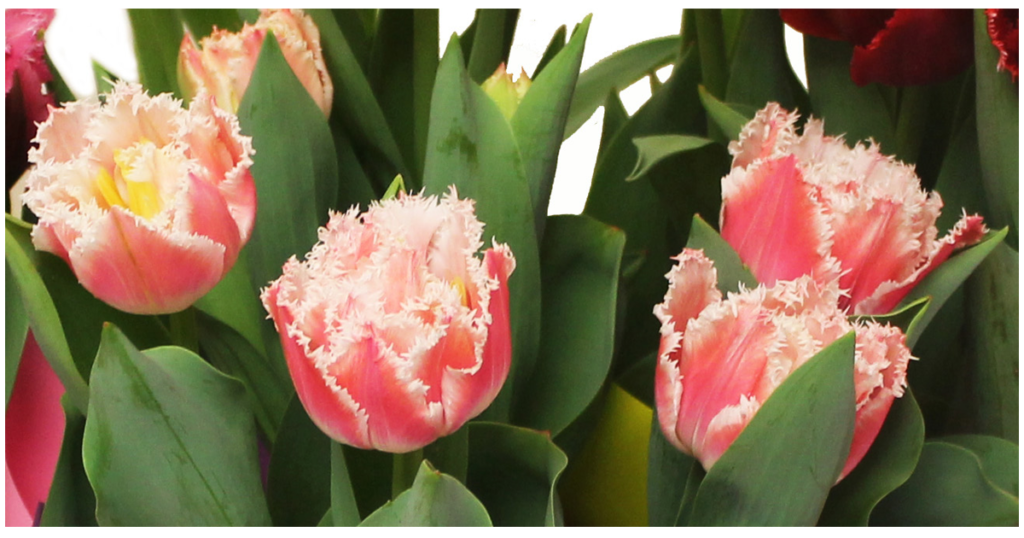 Our Featured Product: Fringe Tulips!