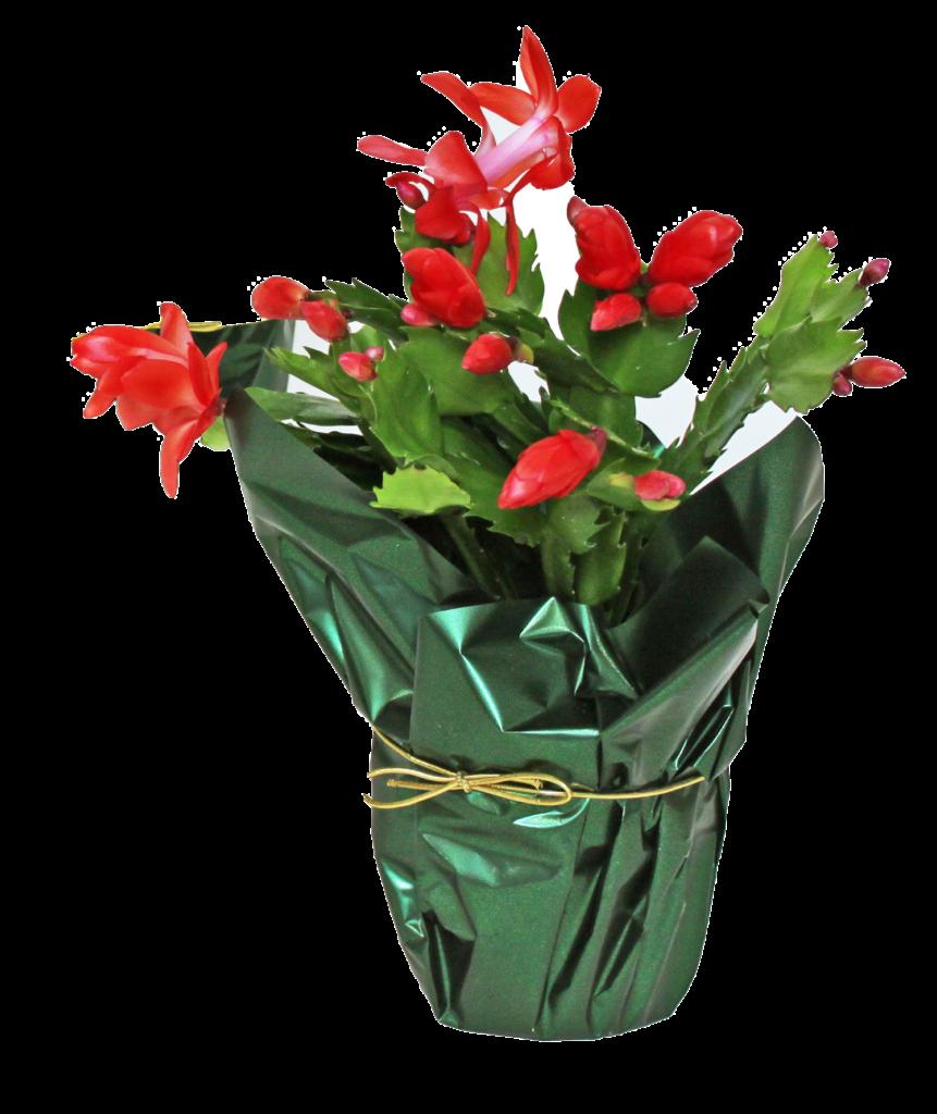 zygo christmas cactus spring Schlumbergera red pink