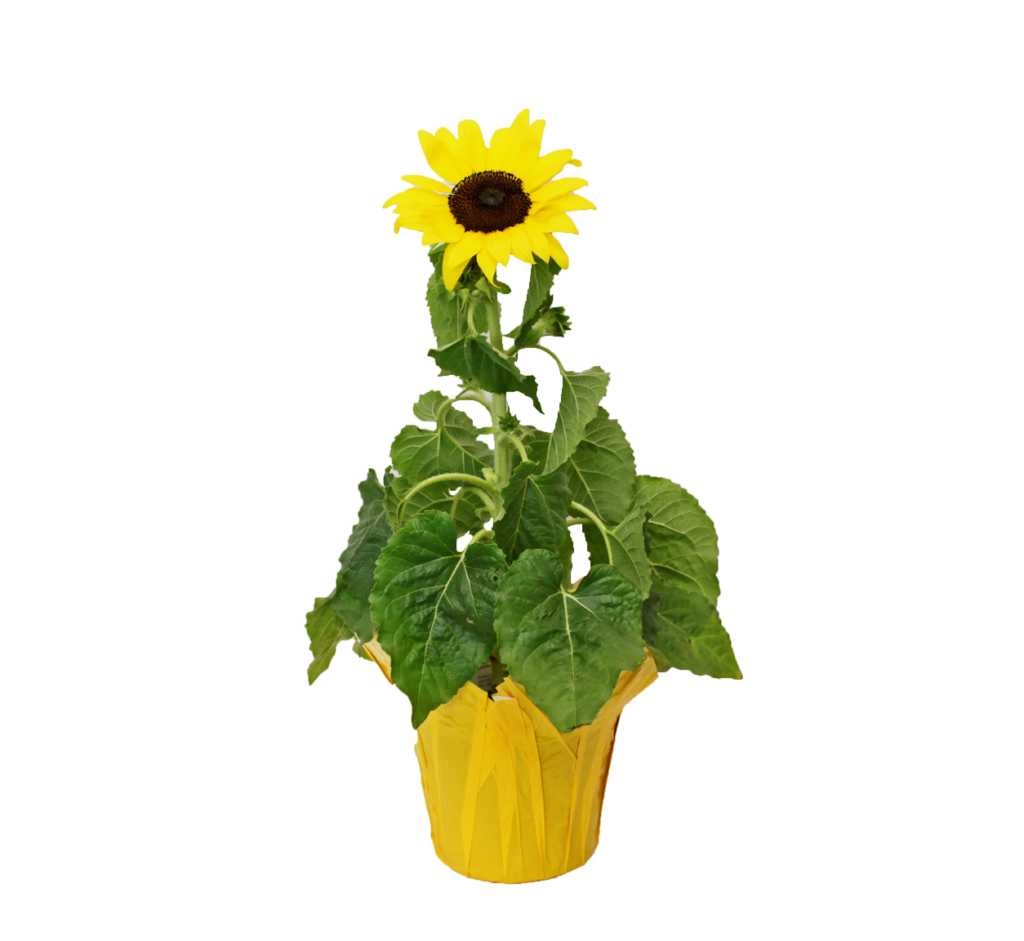 sunflower yellow clay
