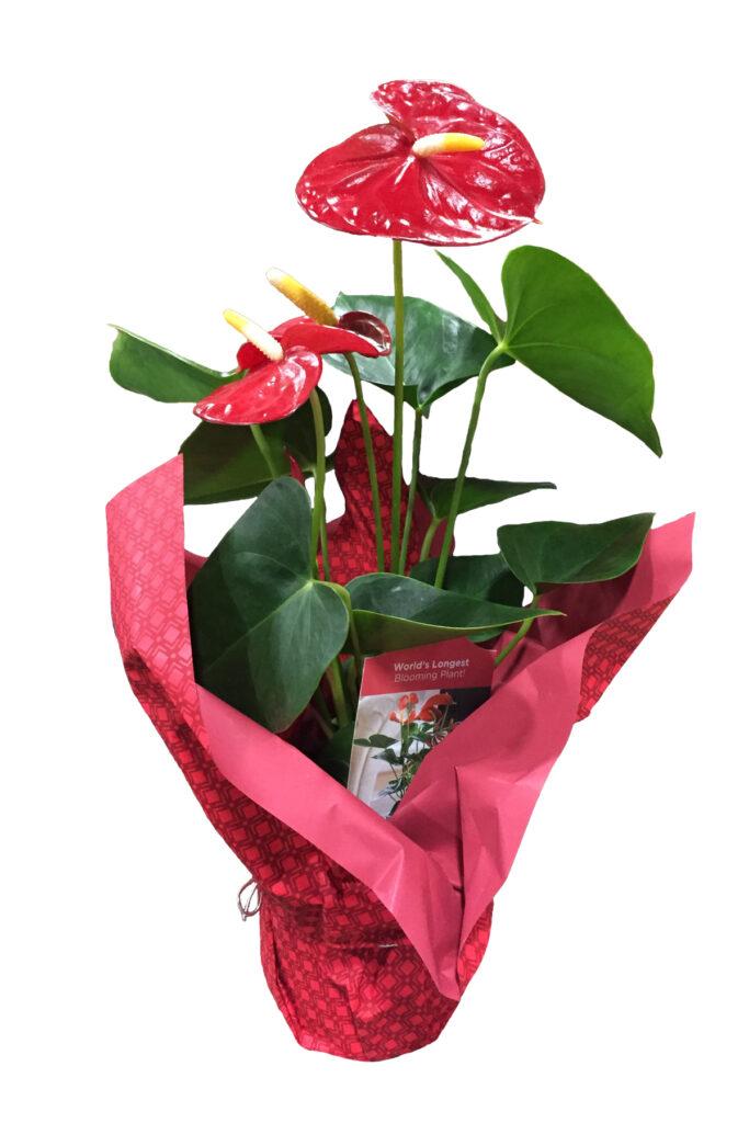 anthurium mylar red