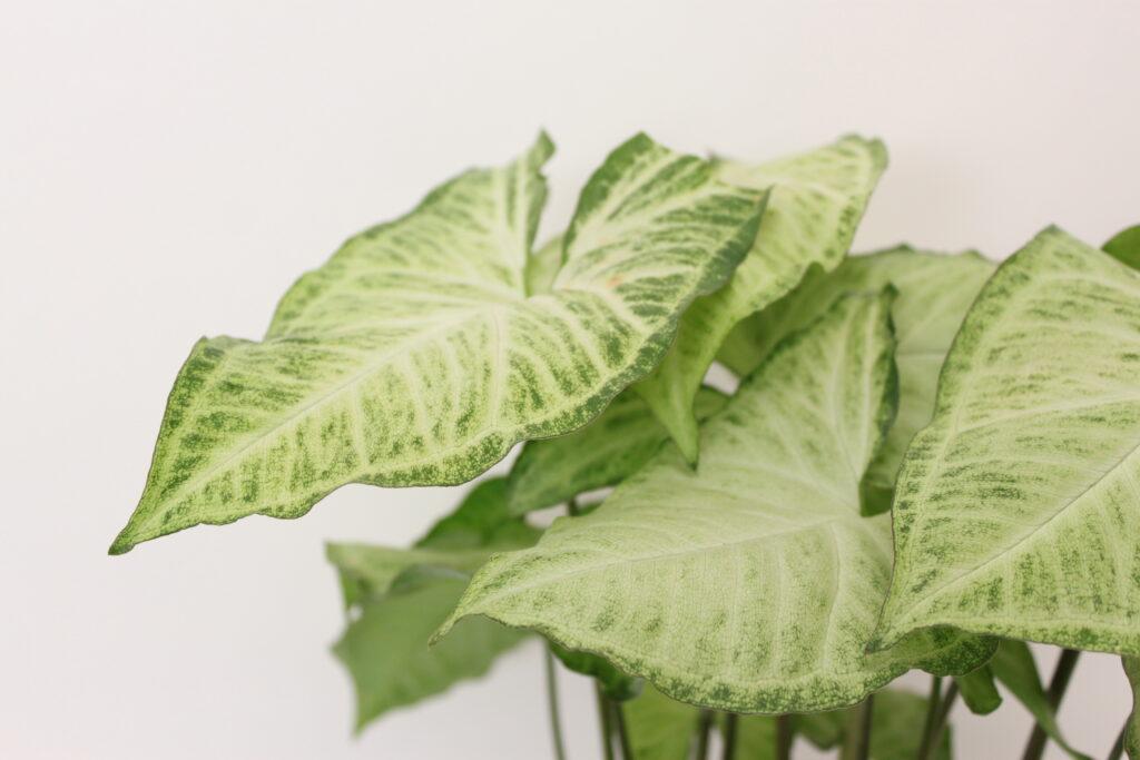 6 inch foliage