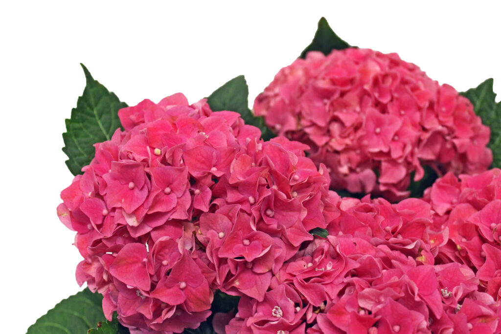 Hydrangeas Are In Stores!