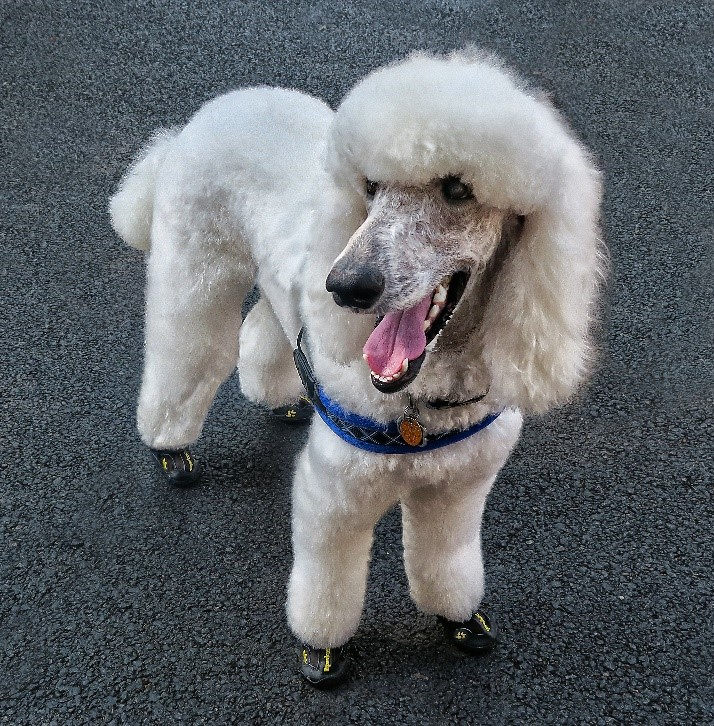 white dog in shoes