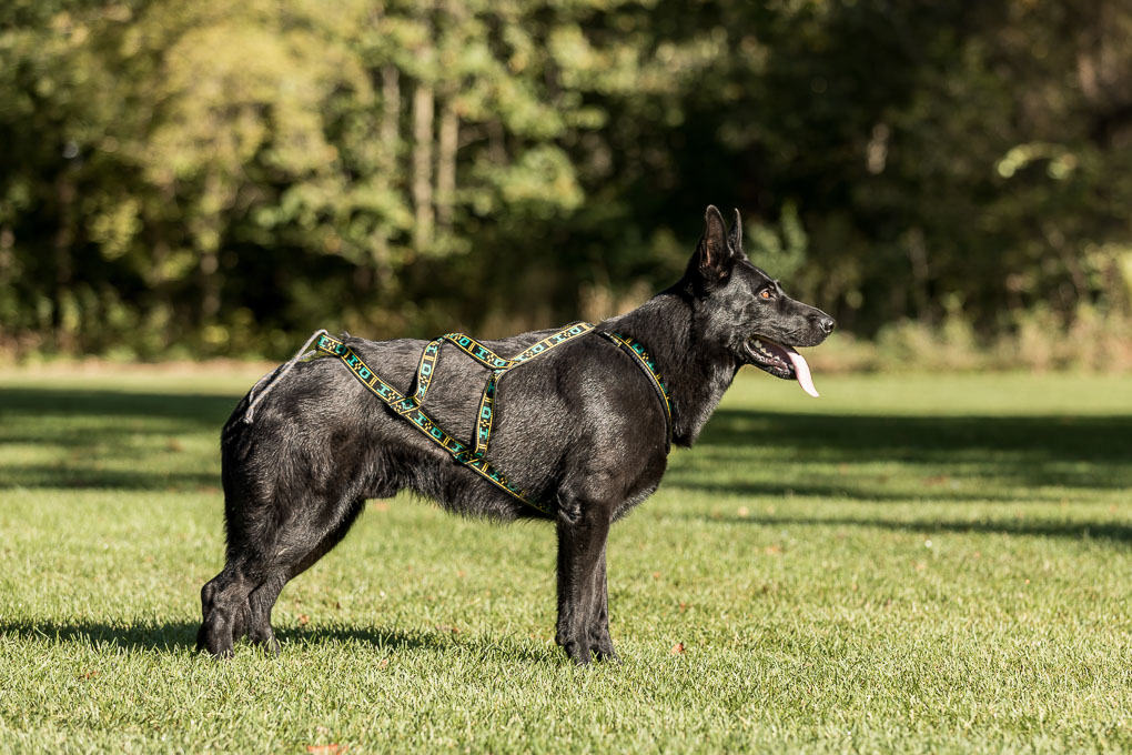 black german shepherd wearing harness for canicross race