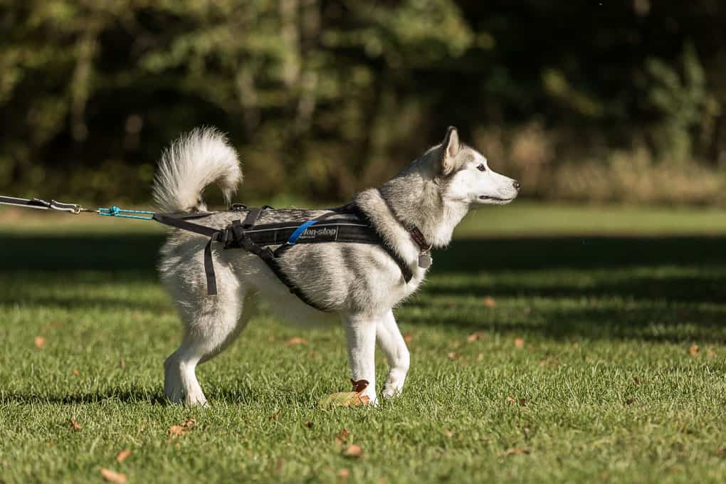 husky wearing harness for canicross race