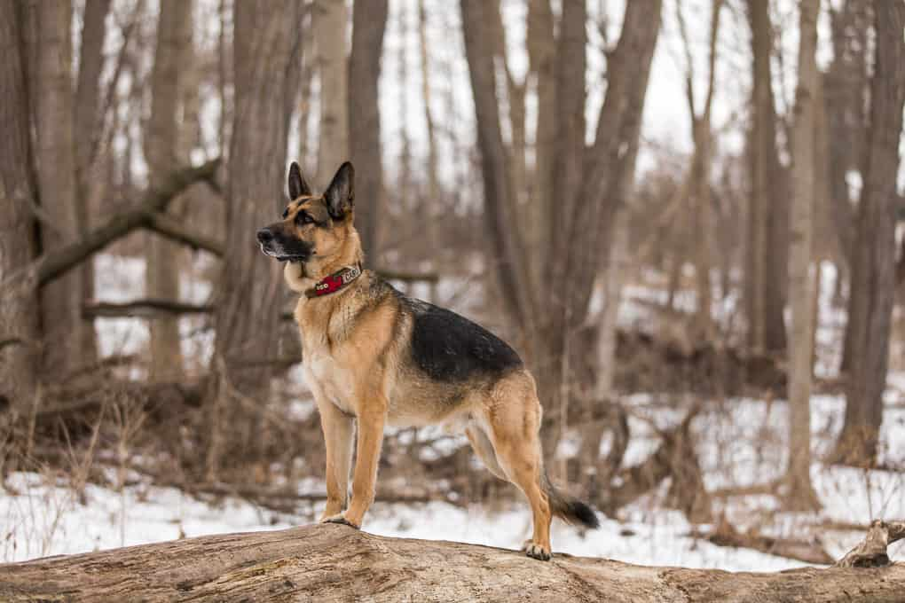 German Shepherd Dog Standing on Log during Shadow Dog Photography Session