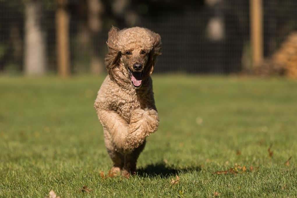Red Standard Poodle Running at Shadow Dog Photography Session in Wisconsin