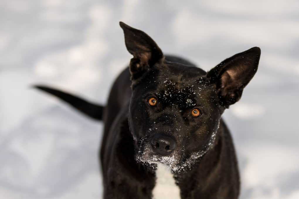 Black Dog Looking Up in the Snow at Shadow Dog Photography Session in Wisconsin