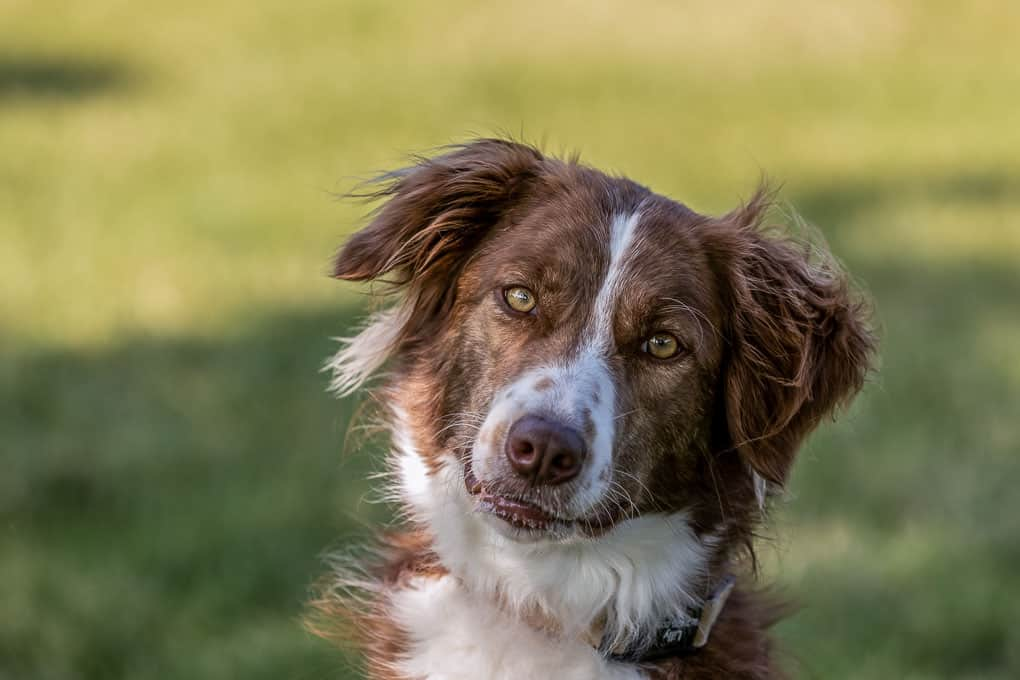 Border Collie Shadow Dog Photography-1