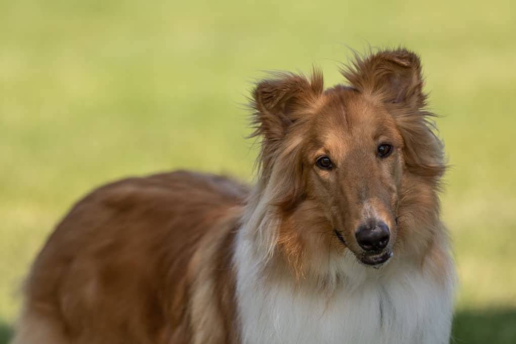 Collie Shadow Dog Photography-1