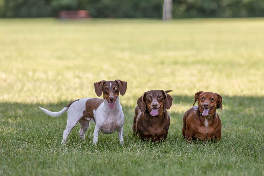 Three Dachshunds Standing Shadow Dog Photography-1