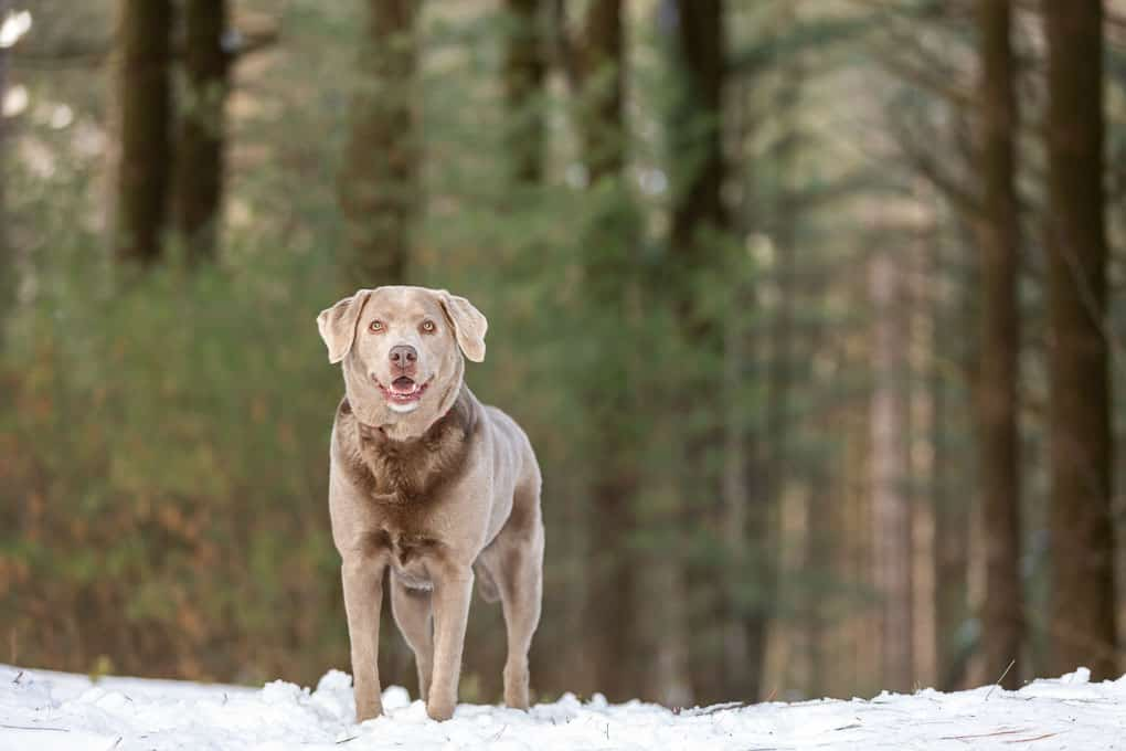 Silver Lab Shadow Dog Photography