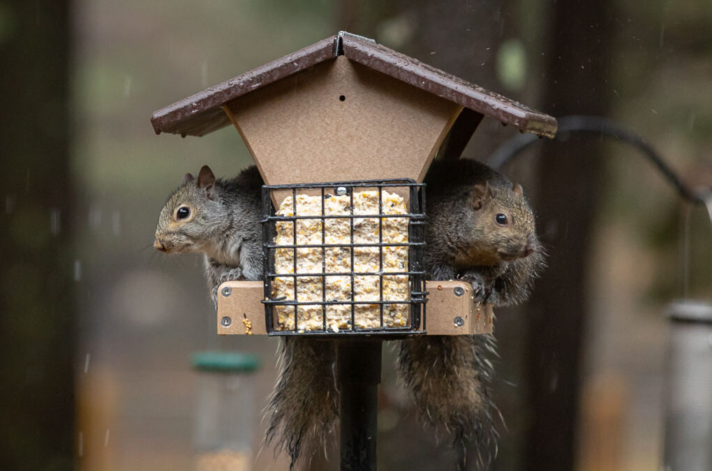 Squirrels on Bird Feeder Shadow Dog Photography