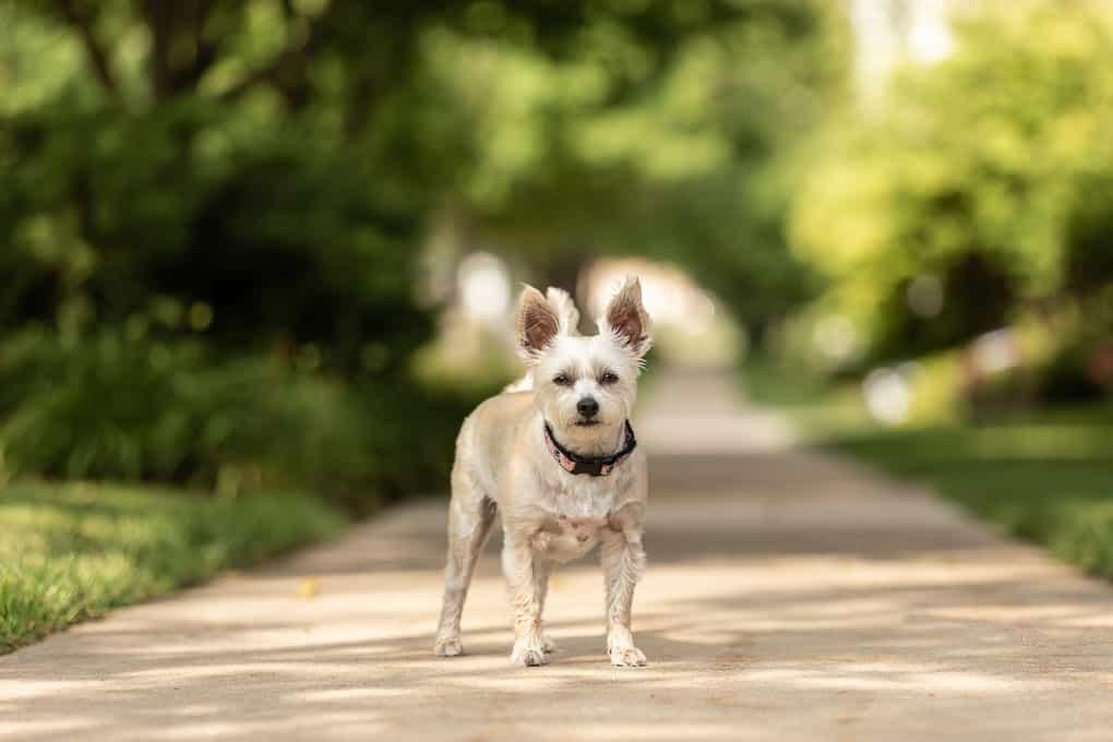 Yorkie Poo Shadow Dog Photography
