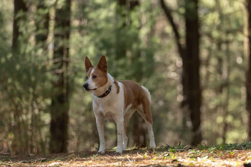Chow Shepherd in Woods Shadow Dog Photography
