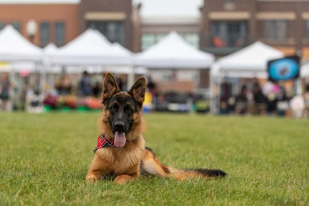 Rescued German Shepherd Shadow Dog Photography