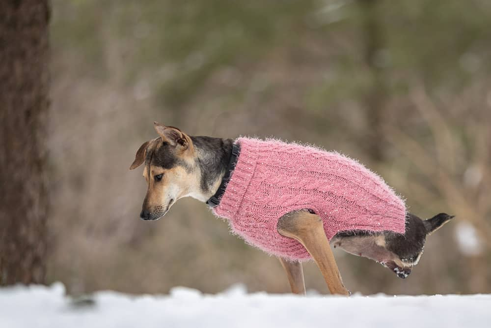 Indian Pariah Dog in Rescued Dogs Project