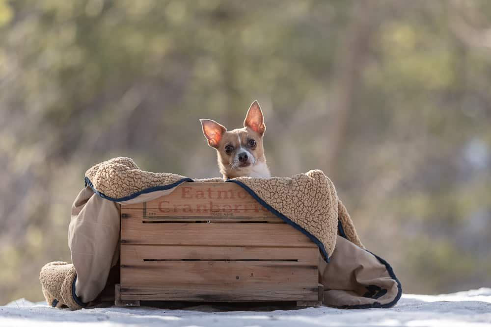 Adopted Chihuahua Now an ESA Shadow Dog Photography