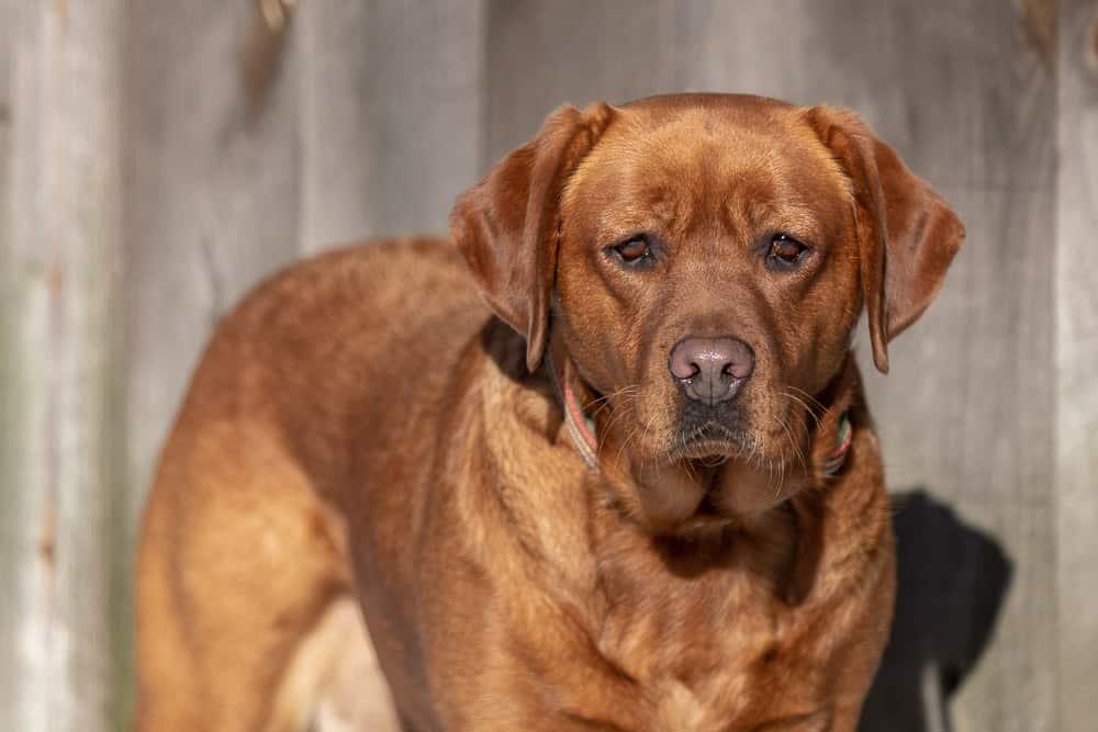 Rescued Labrador Retriever Shadow Dog Photography