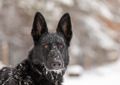 Black German Shepherd Dog Shadow Dog Photography
