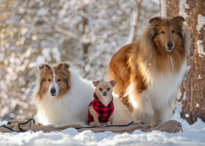 Rough Collies and Chihuahua Shadow Dog Photography