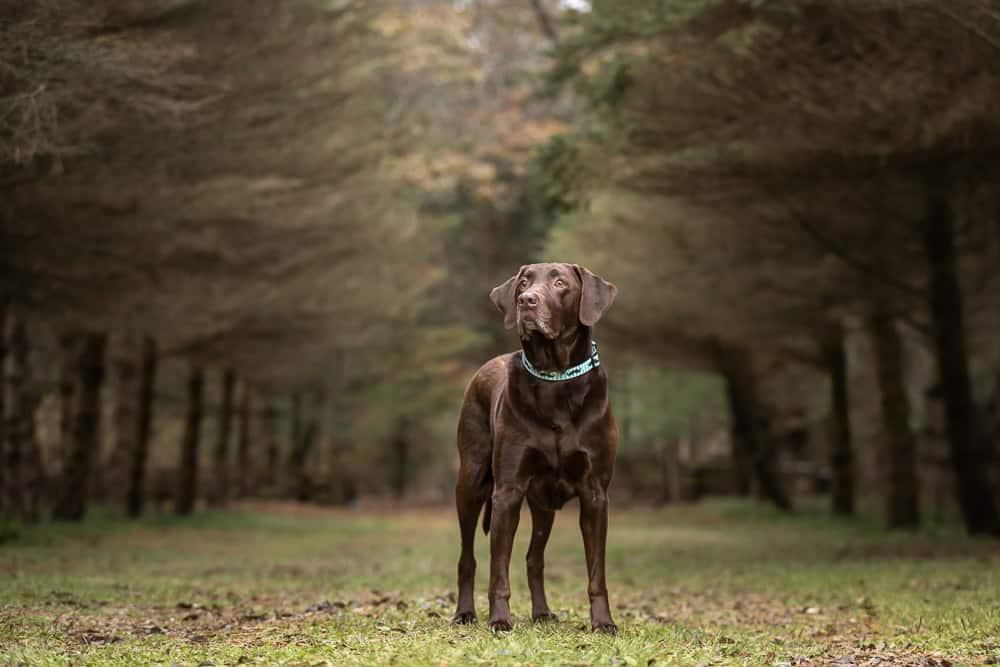 Chocolate Labrador Retriever Shadow Dog Photography