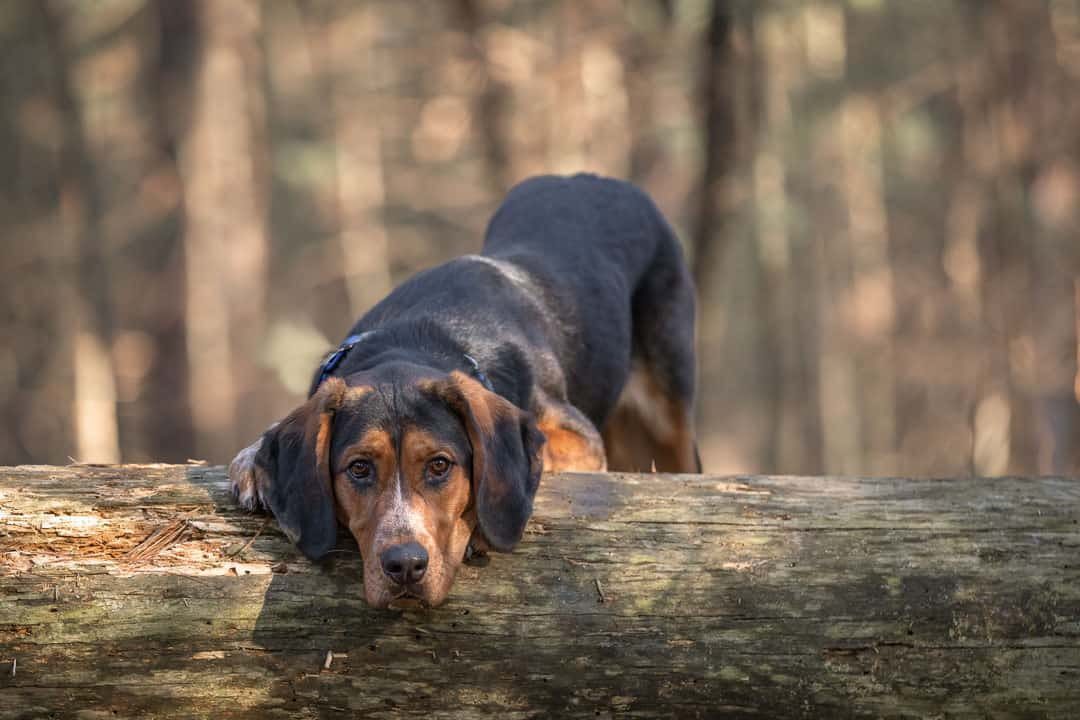Rescued Coonhound Mix Shadow Dog Photography