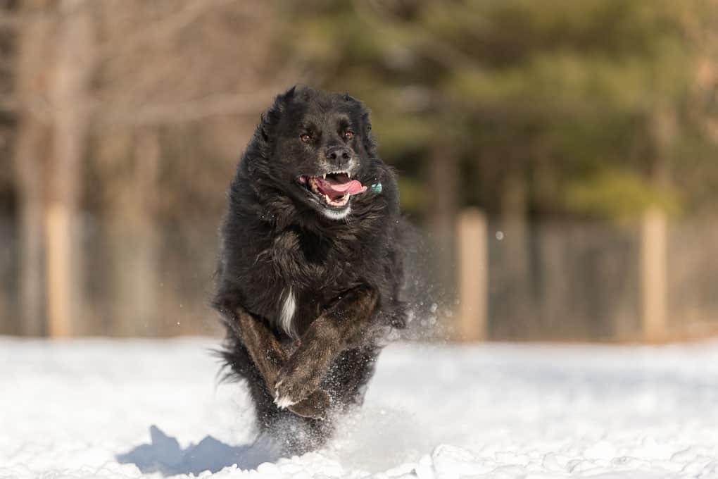 Rescued Newfoundland Mix Dog Shadow Dog Photography