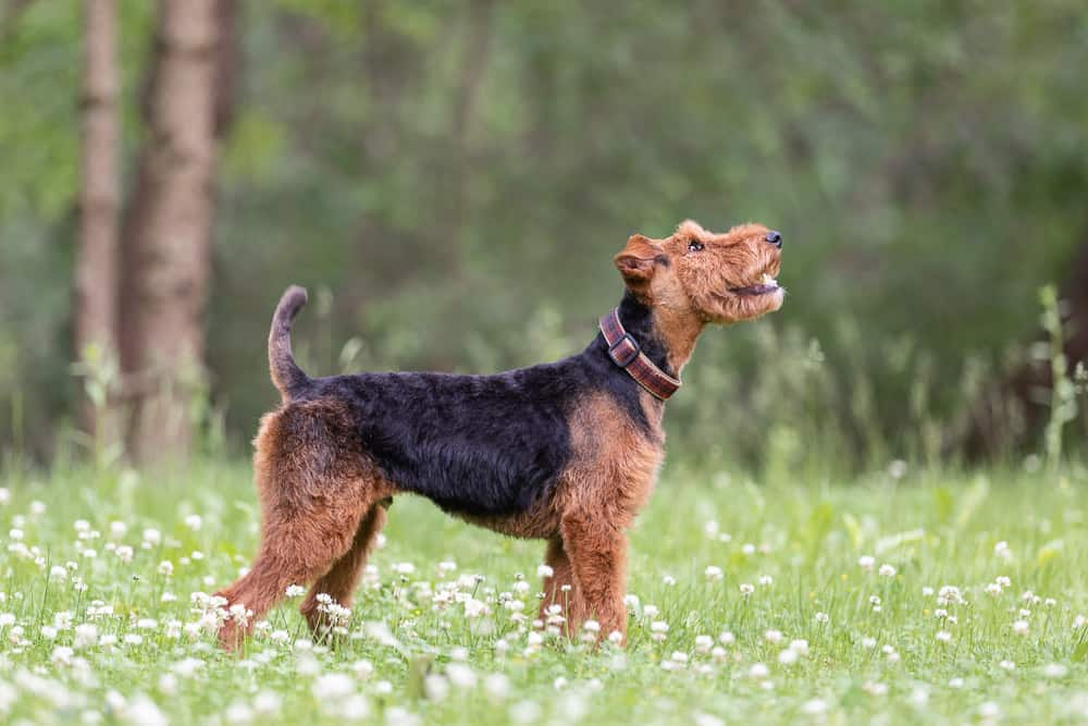 Welsh Terrier Shadow Dog Photography