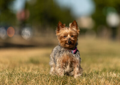 Yorkshire Terrier Shadow Dog Photography