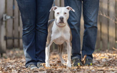 Rescued Dogs Project – Macy the Amstaff
