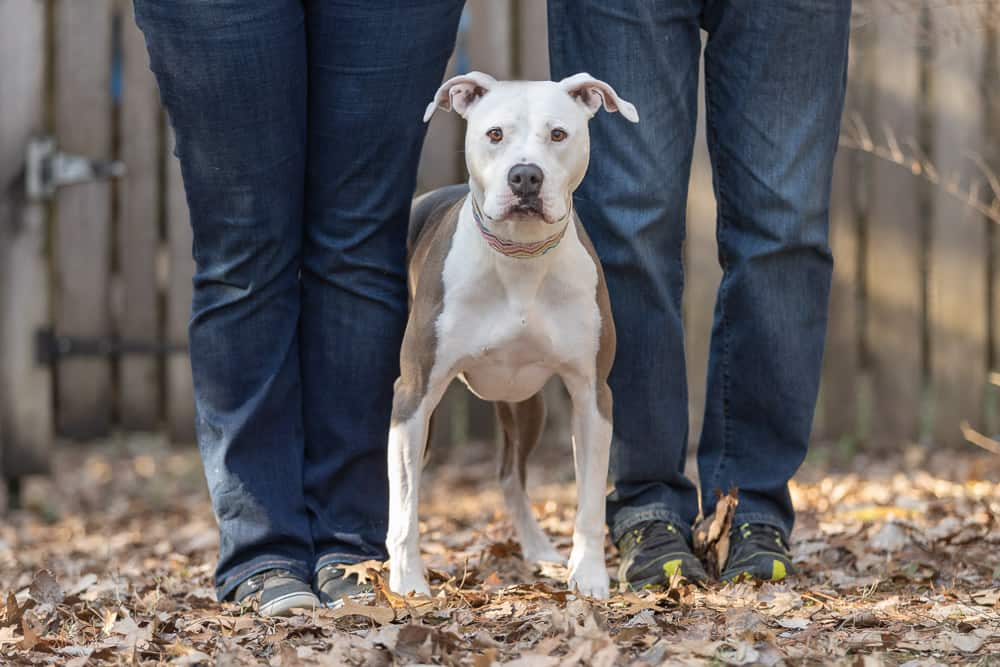 Rescued American Staffordshire Terrier Shadow Dog Photography