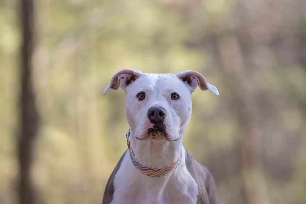 Rescued Amstaff Shadow Dog Photography