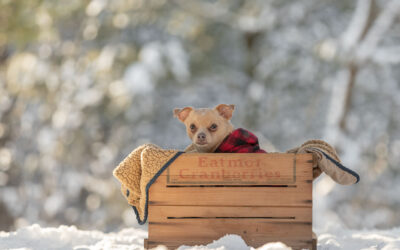 Rescued Dogs Project – Fawkes the Chihuahua Mix
