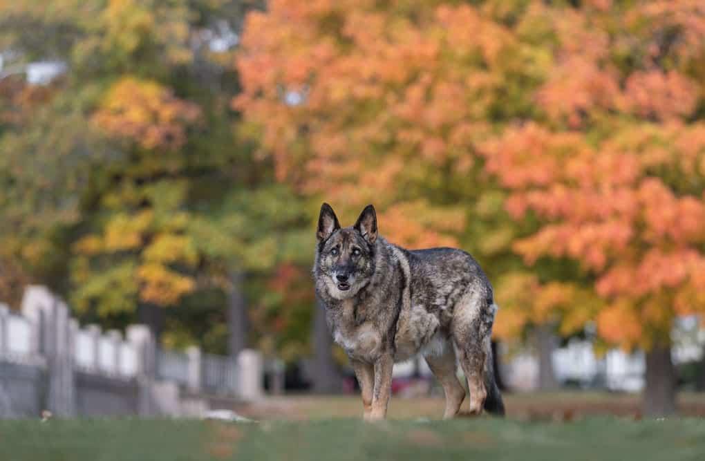 German Shepherd Shadow Dog Photography