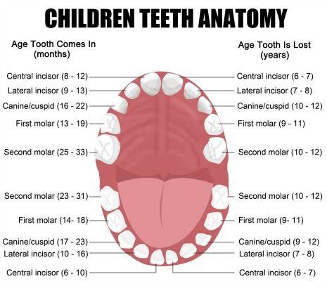Baby-Teeth-Eruption-Chart