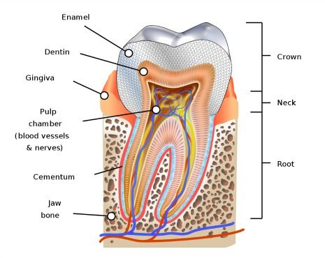 Picture of human tooth
