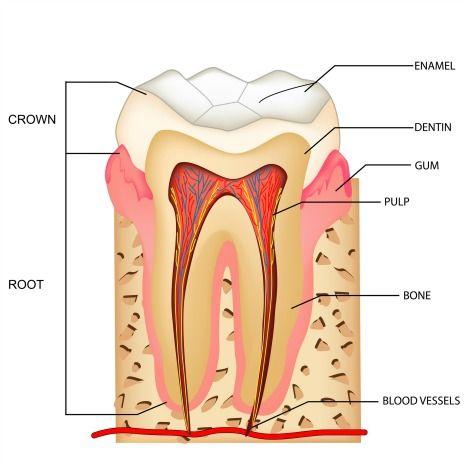Human tooth anatomy of a molar