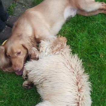 Dogs worn out after playing