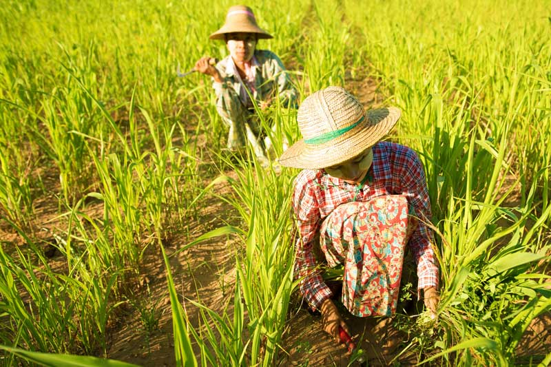 Myanmar-rice-field