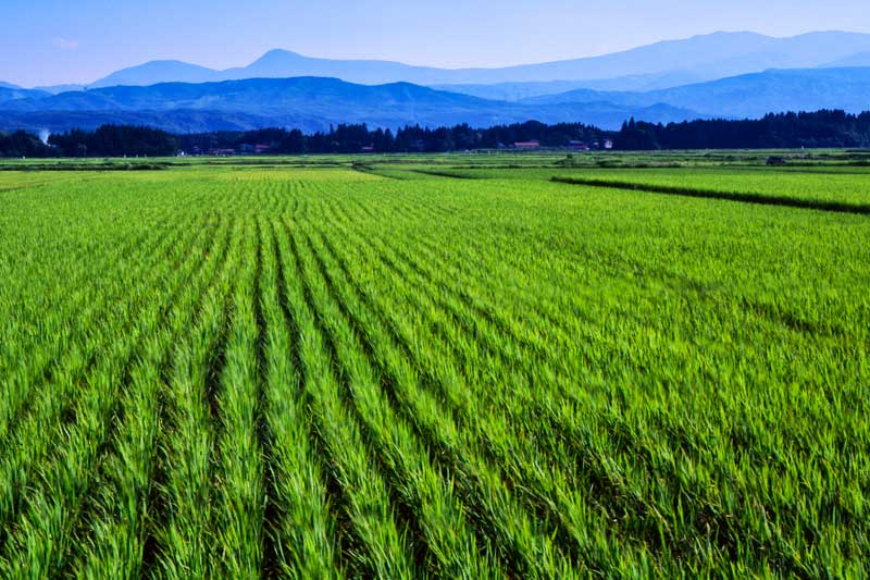 rice-paddy-japan