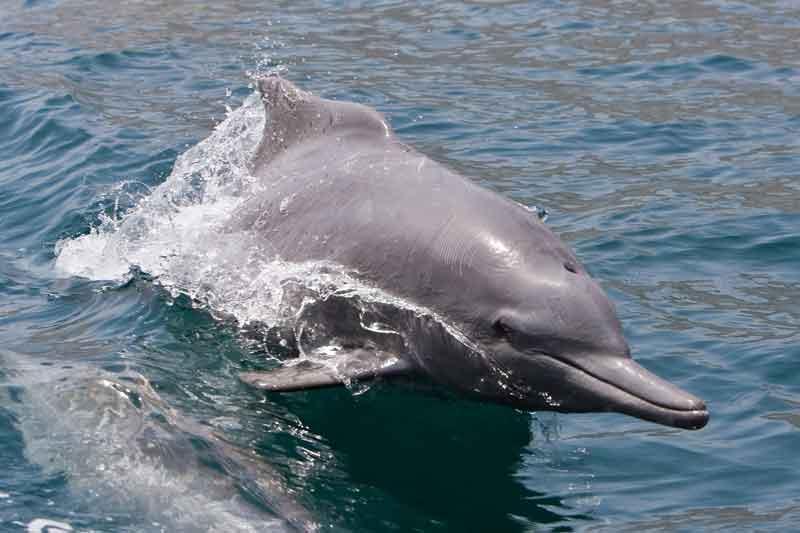 Oman9_Dolphin