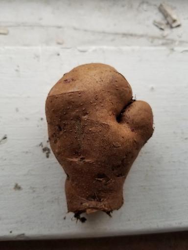 A potato that looks like a boxing glove.