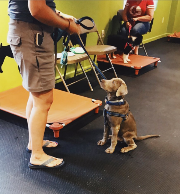 Therapy dog in training looking up at trainer