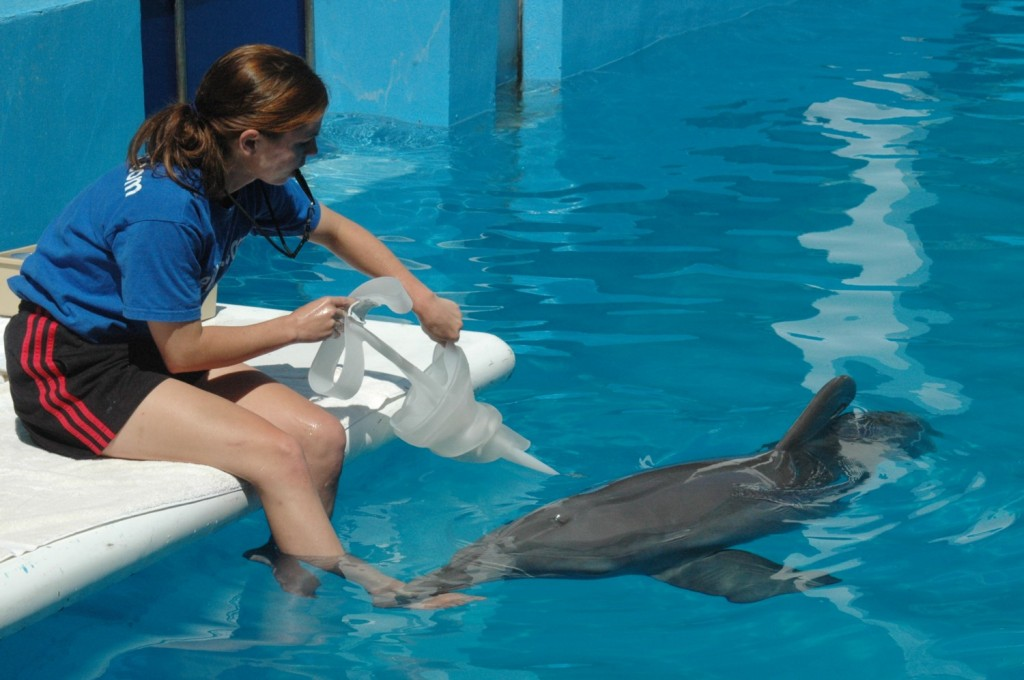 The dolphin Winter, made famous for the breakthrough rehabilitative work that Clearwater Aquarium did to create a prosthetic tail that saved the dolphin's life, here in 2008 getting her prosthetic tail on, also saved the aquarium and its important work © 2014 Karen Rubin/news-photos-features.com