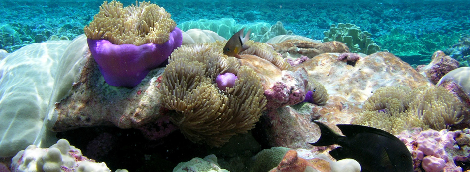 Heteractis Magnifica Isla Maxima tidepools at Pacific Remote Islands Marine National Monument. Obama signed a proclamation expanding the protected area to six times its size, becoming the largest marine reserve in the world (photo from FWS).